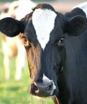 Malawi's demand for beef and dairy products cannot currently be met by local production.