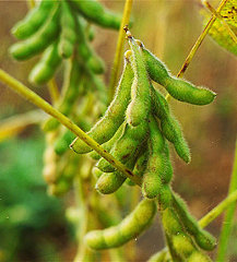 Investors have the opportunity to invest in soya bean processing in Malawi.