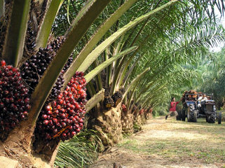 Singapore based Olam has partnered with the Gabonese government to develop the country's palm oil industry.