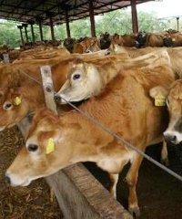 Shonga cows