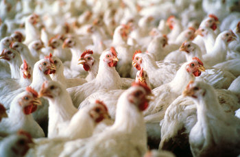 Immuno-Vet Services can provide all the health requirements a poultry farmer needs.