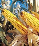 GM crops is a controversial topic in Kenya.