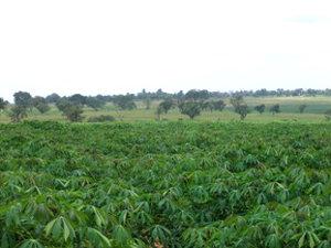 Planted cassava at Ireti Farm.