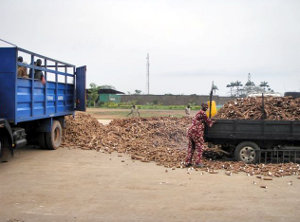 Cassava tubers ready for processing