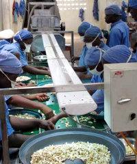 Cashew production in Benin.