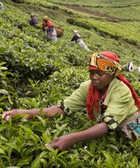Tea is one of Burundi's major exports.