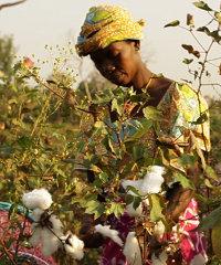 Growing cotton in Senegal