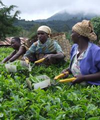 Harvesting tea in Tanzania