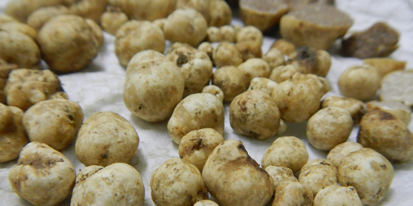South African mycologistand farmer Leon Potgieter believes he discovered the first Western Cape indigenous truffle six years ago and has been conducting research into its genealogy.