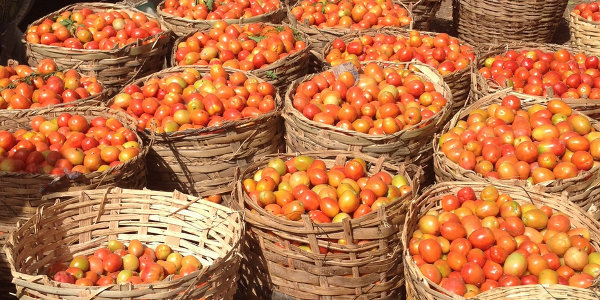 Nigeria is sub-Saharan Africa's largest grower of tomatoes, but it is also the biggest importer of tomato paste.