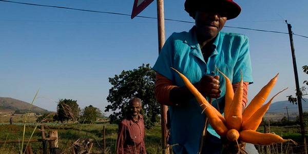Agriculture men and carrots