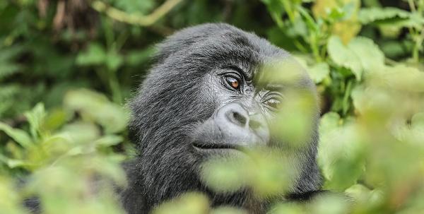 Volcanoes park gorilla