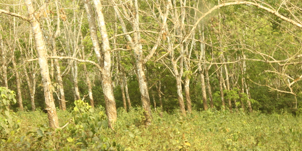 Extensive new rubberwood plantations in Liberia ensures sustainability 600x300