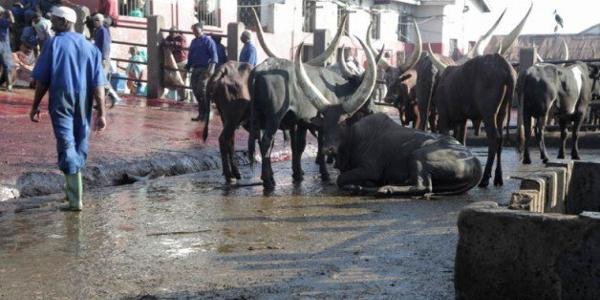 cattle-600x300