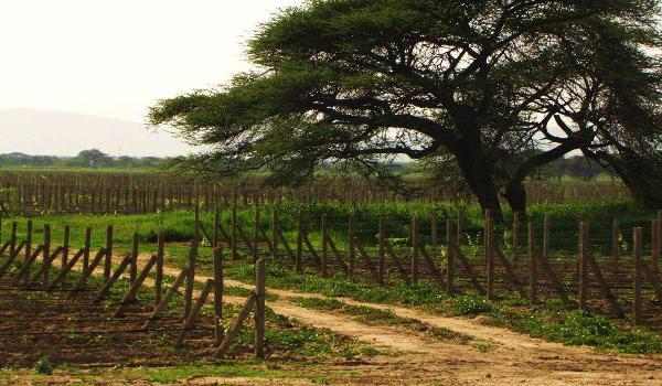 Castel's 162-hectare vineyard in Ziway, Ethiopia.