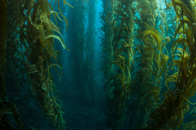 Kelp reaches its full size in six to seven months.