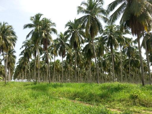 A palm plantation in Côte d'Ivoire.