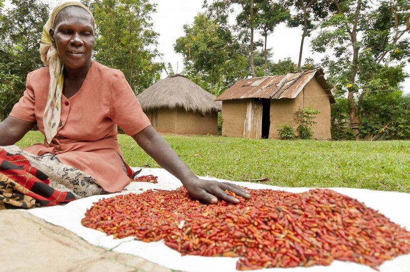 Mace Foods' raw chilis are produced by small-scale farmers.