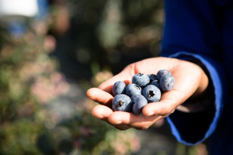 Blueberries grown at Strathbreede's high-spec farm.