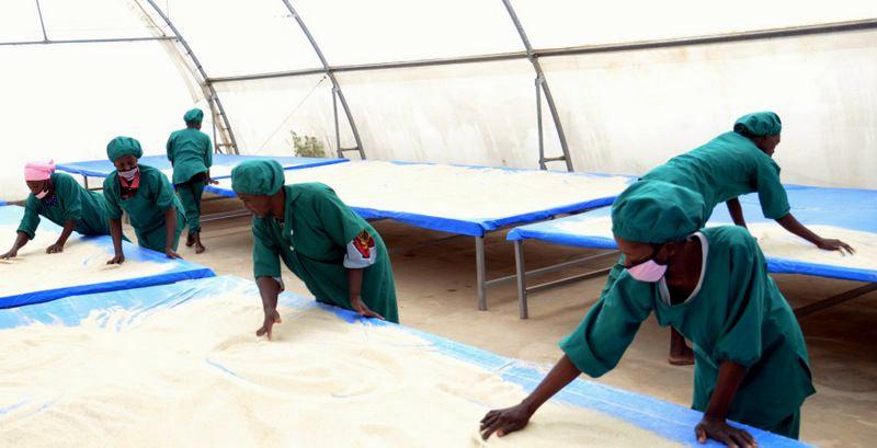 Staff of Amaati Group drying Fonio grains in Tamale in northern Ghana.